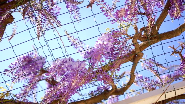 Flowering tree wisteria in Montenegro, the Adriatic and the Balk video