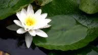 Flowering Water Lily video
