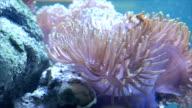 Flower-like sea animal on stone beside. video