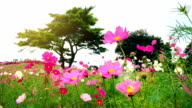 Flowers and Kochias hill at At Hitachi Seaside Park Japan video