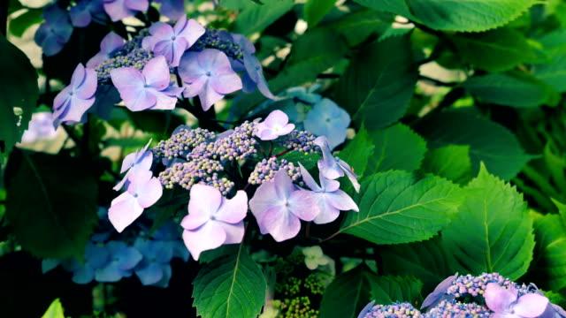 Flowers are very beautiful purple hydrangeas. video