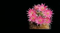 Flowers blooming cactus  timelapse isolate. video