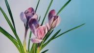 Flowers Blooming Timelapse video