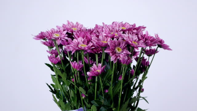 Flowers, bouquet, rotation on white background, floral composition consists of purple Chrysanthemum saba video