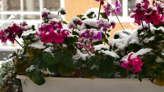 Flowers covered by snow, next to a house video