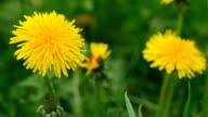 Flowers dandelion bloom. video