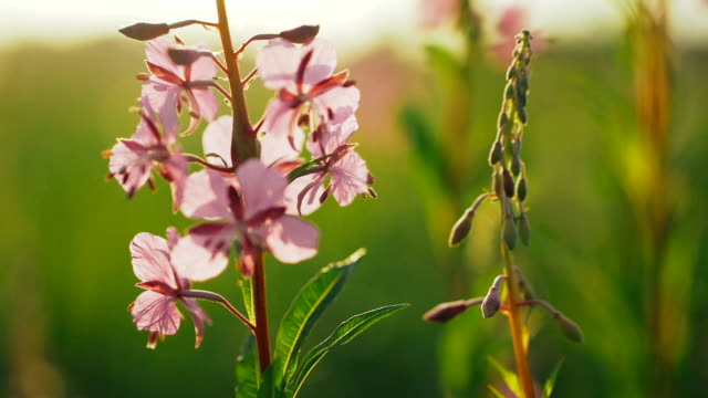 Flowers Fireweed in the early morning. video