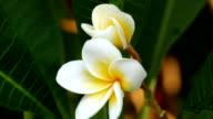 Flowers Frangipani video