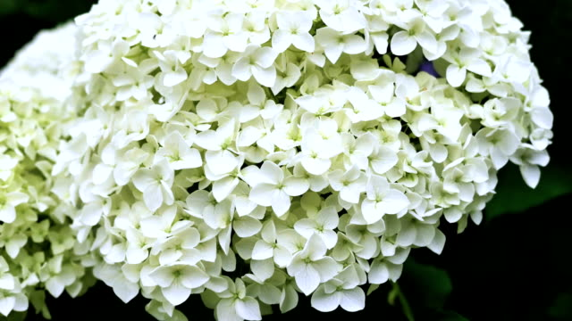 Flowers hydrangeas close-up. Color correction. video