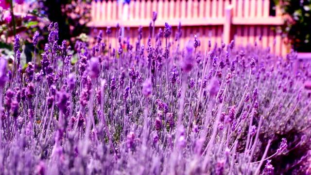 flowers lavender video