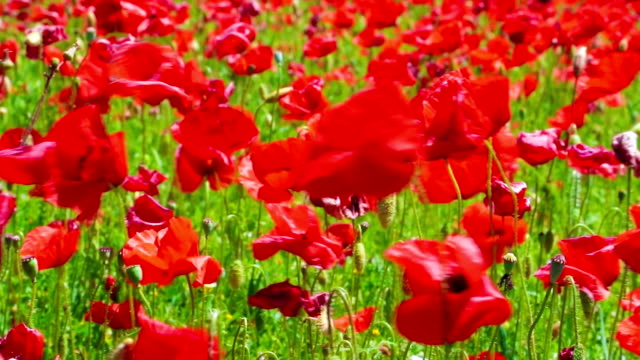 flowers meadow of red poppies field in windy day, farmland, countryside video