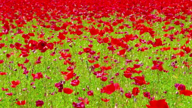 flowers meadow of red poppies field in windy day video