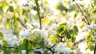 Flowers of apple blossoms over sunrise background video