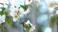 Flowers of apple. video