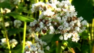 Flowers of buckwheat and buckwheat vast fields. video