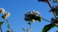 Flowers of buckwheat and buckwheat vast fields. video