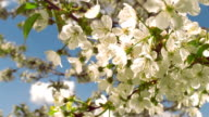 Flowers of cherry tree against the sky video