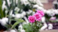 Flowers of chrysanthemum under first snow video