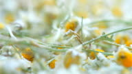 flowers of dried camomile video