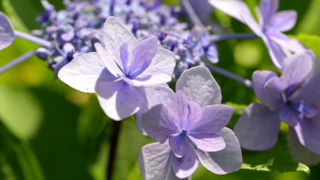 Flowers of Hydrangea at Showa Memorial Park,Tokyo,Japan video