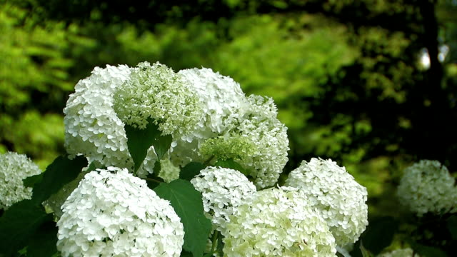 Flowers of Hydrangea in Showa Kinen Park,Tokyo,Japan video