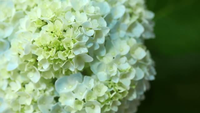 Flowers of hydrangea video