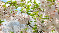 Flowers of Japanese sakura video