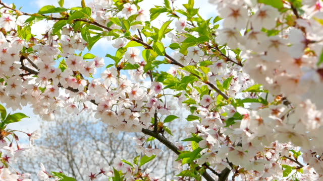 Flowers of Japanese sakura video