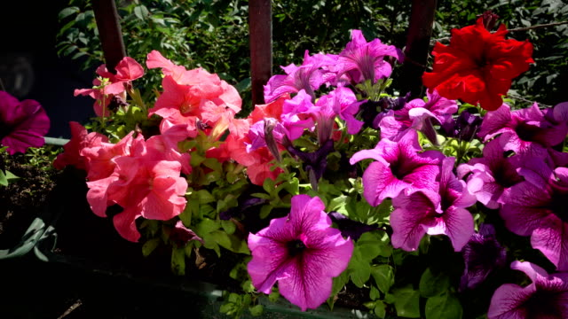 Flowers of Petunia grow in a box on a balcony in sunny day video