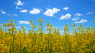 Flowers of rapeseed and sun, view from below video