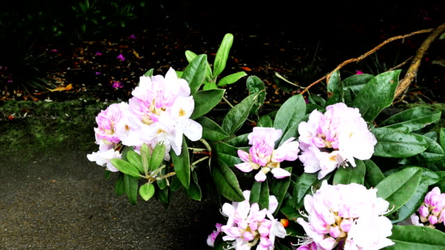 Flowers of rhododendrons near the road. video