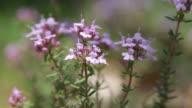 Flowers of Thymus vulgaris video