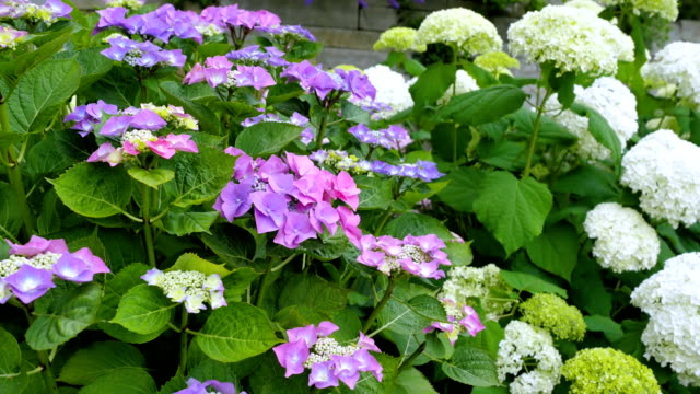 Flowers of white, blue and pink hydrangeas. video