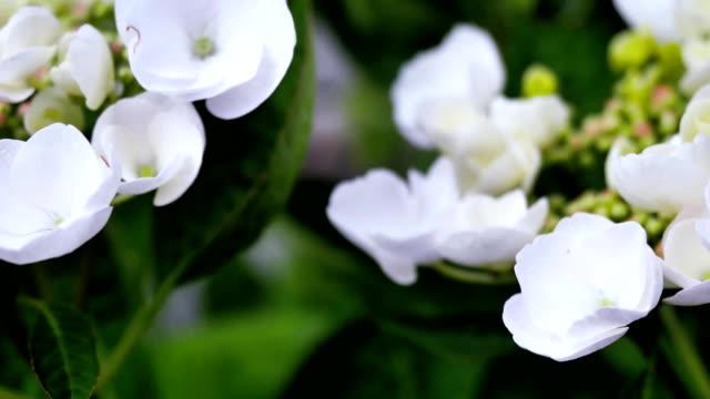 Flowers of white hydrangeas in the garden. video