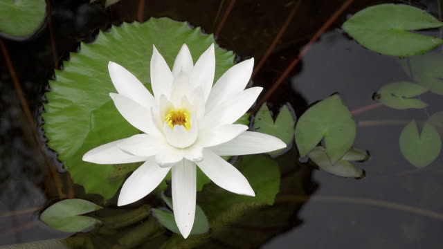 flowers of white Lotus have revealed in a reservoir video