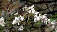 flowers of white magnolia video