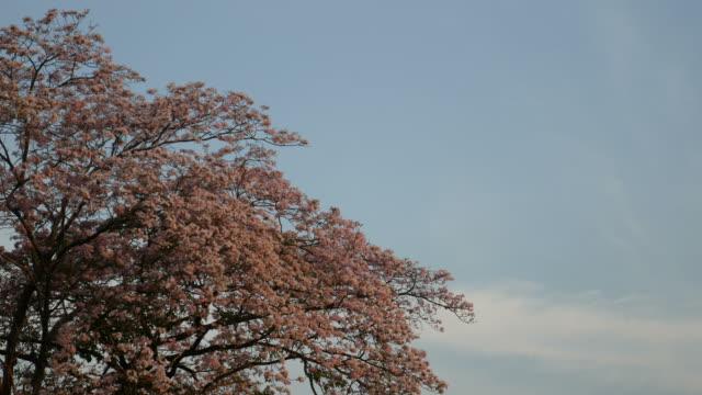 Flowers on tree, Thailand video