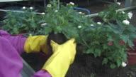 flowers replanting video