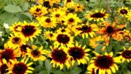 Flowers  rudbeckia video
