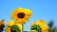 Flowers sunflower video