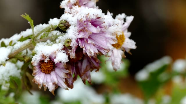 flowers winter video