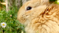 Fluffy rabbit sniffing, close up video