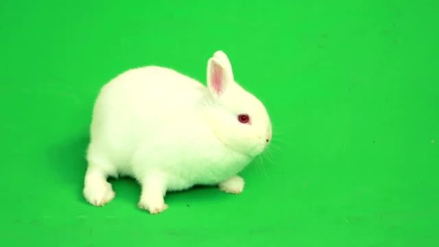 Fluffy white rabbit sniffing around him video