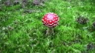 Fly Agaric Mushroom video