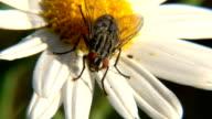 Fly on flower MACRO video