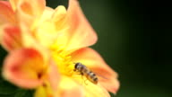 Fly on the flower. Macro video
