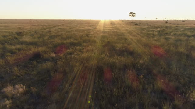 Fly over aerial view of the savanna grasslands and palm trees of the Okavango Delta video