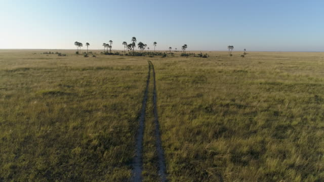 Fly over aerial view of vehicle track going into the savanna grasslands and palm trees of the Okavango Delta video