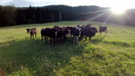 Fly over black cows pasture with sunset video