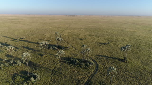 Fly over high aerial view of vehicle track going into the savanna grasslands and palm trees of the Okavango Delta video